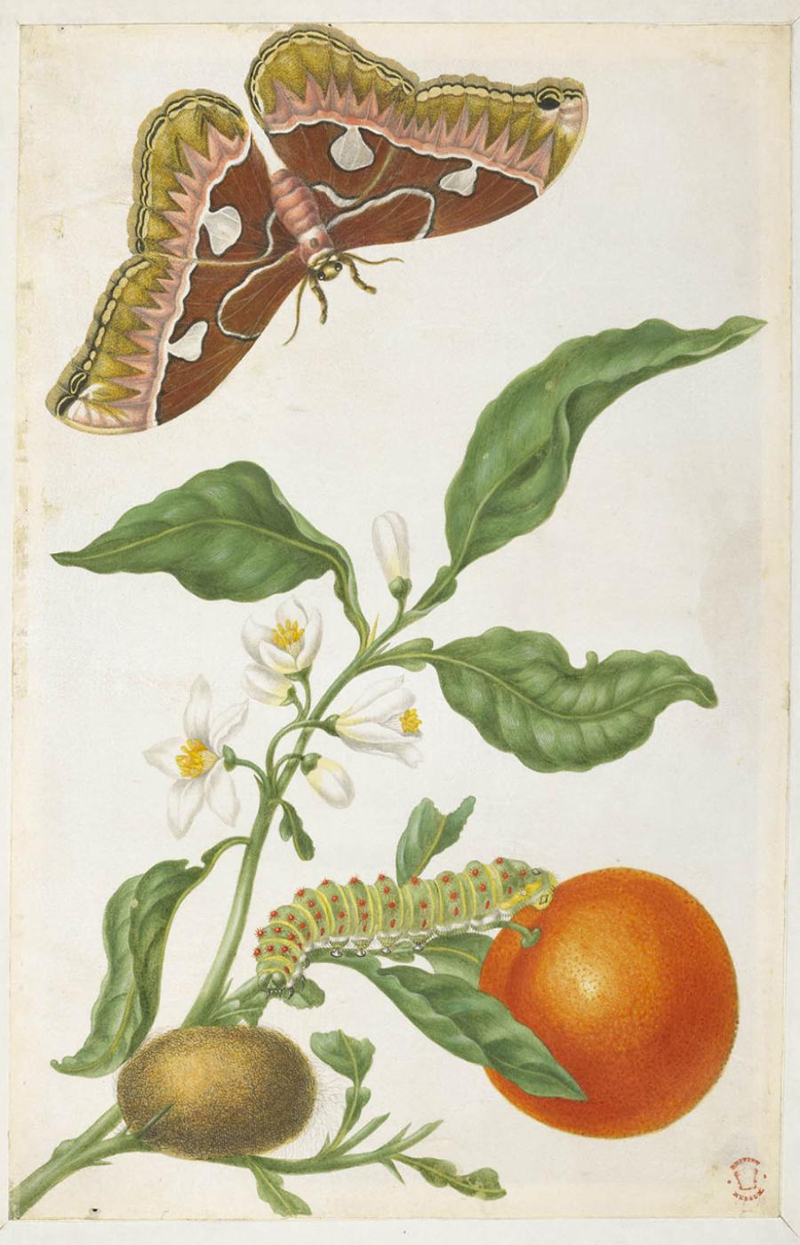 Maria Sibylla Merian, grabado en cobre iluminado de Metamorphosis insectorum Surinamensium, Lámina XXIII. Solanum mammosum 1705. Wikimedia Commons